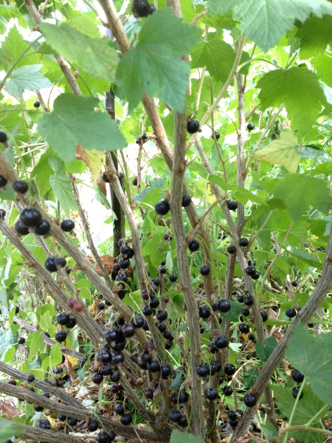 Black currents flourishing