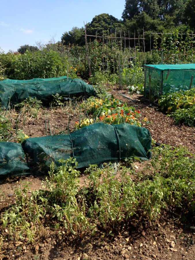 Summertime on the allotment