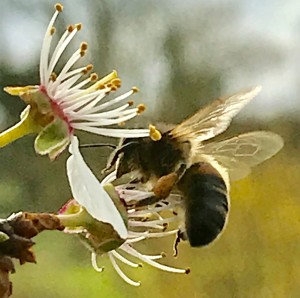 April blossom bee