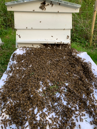Bees from swam- going into hive