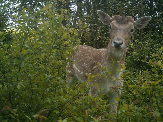 Fallow deer captured by wildlife cam